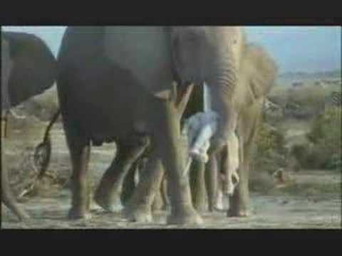 NATURE  | Unforgettable Elephants | Preview | PBS