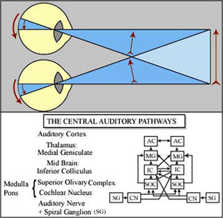 Neural Basis of Vision and Audition