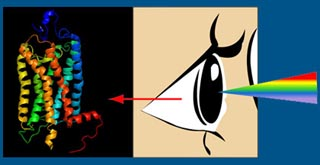 G-Protein Coupled Receptors: Vision and Disease