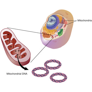 Powerhouse Rules: The Role of Mitochondria in Human Diseases